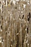 Cattails i en våtmark med en spindelrengöringsduk Royaltyfri Foto