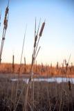 Cattails i vinter på solnedgången Fotografering för Bildbyråer