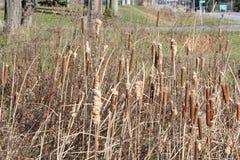 Cattails im Abzugsgraben im Winter Lizenzfreie Stockfotos