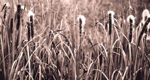 Cattails im Sepia Lizenzfreie Stockfotografie