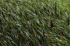 Cattails In Grass Royalty Free Stock Photography