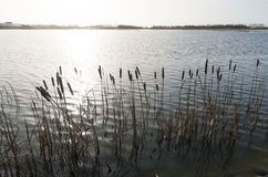 Cattails at a lake Royalty Free Stock Photo