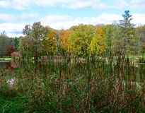 Cattails on Lake Mormo. This is a Fall picture of cattails on the bank of Lake Mormo, with a background of Fall Foliage, in Morton Arboretum located in Lisle royalty free stock photography