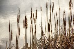 Cattails by a lake. A picture of cattails by a lake in the winter stock image