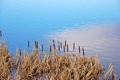 Cattails by the Lake's Edge Stock Images
