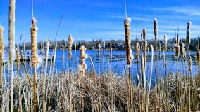 Cattails in a lake. In the summer royalty free stock photos