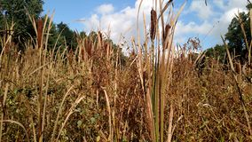 Cattails. In a marsh Royalty Free Stock Photography