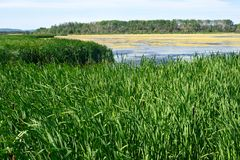 Cattails and a marsh Stock Images