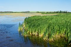 Cattails and a marsh Stock Image