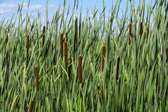 Cattails in a Marsh #2 Stock Photo