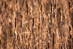 Cattails at a Marsh Stock Photo