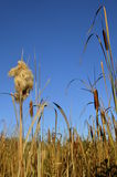Cattails in a marsh Royalty Free Stock Image