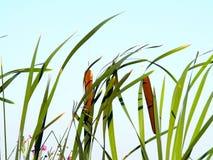 Cattails med klar himmel Fotografering för Bildbyråer