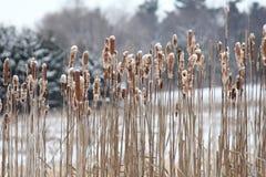 Cattails med snö Royaltyfria Foton