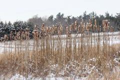 Cattails med snö Arkivbilder