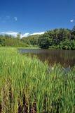 Cattails na borda da lagoa fotos de stock