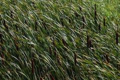 Cattails na grama fotografia de stock royalty free