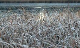 Cattails naast een meer op een ijzige Dalingsochtend royalty-vrije stock fotografie