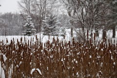 Cattails nevado em Theodore Wirth Park, Minneapolis Imagem de Stock Royalty Free