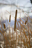 Cattails no inverno fotografia de stock