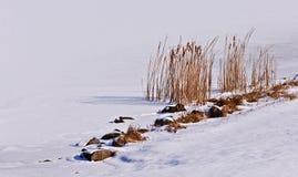Cattails på en djupfryst lake Royaltyfri Bild
