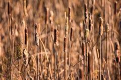Cattails på ett träsk Arkivfoto