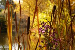 Cattails Paint Rustic Autumn Scene. Cattails and reed grasses paint a golden Autumn scene in a city park at Boise, Idaho stock images