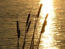 Cattails pela água Fotos de Stock Royalty Free