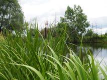 Cattails pela lagoa no verão fotos de stock
