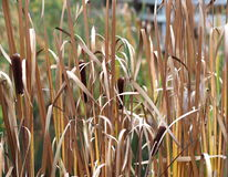 Cattails Beside Pond Royalty Free Stock Photography