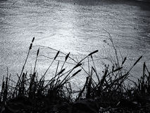 Cattails por la charca congelada Imagen de archivo
