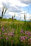 Cattails and purple flowers growing wild Royalty Free Stock Photos