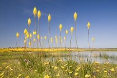 Cattails que florescem em Namaqualand durante o tempo de mola Fotos de Stock Royalty Free