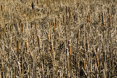 Cattails, Reeds, Background Stock Photography