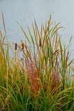 Cattails Reeds Grasses Boise Cascade Lake. Cattails, reeds, and grasses on the shore of the Boise Cascade Lake, colorful fall foliage on the Greenbelt in Boise royalty free stock photography