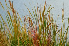 Cattails Reeds Grasses Boise Cascade Lake. Cattails, reeds, and grasses on the shore of the Boise Cascade Lake, colorful fall foliage on the Greenbelt in Boise stock photos