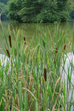 Cattails, Reeds and Lake Royalty Free Stock Photos