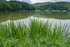 Cattails and Reeds by a Mountain Lake Stock Image