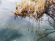 Cattails reflected in still pond water. Stock Photography