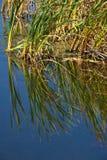 Cattails reflekterade i lugnt vatten Fotografering för Bildbyråer