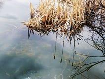 Cattails reflekterade i vatten för stilla damm Arkivbild