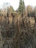 Cattails. Rising out of the ponds of Western Washington royalty free stock image