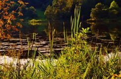 Cattails at a Lake Stock Photo