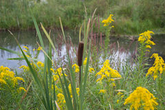 Cattails Seed Head Goldenrods Wildflowers Near Water. Cattails, goldenrods, wildflowers marshy area. Ontario wildflowers in autumn. Cattail seed heads and Stock Photo