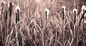 Cattails in Sepia Royalty-vrije Stock Fotografie