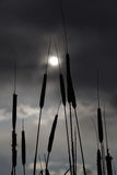 Cattails Silhouette. Against the sun through the clouds stock photography