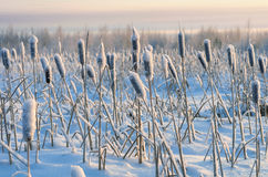 Cattails in the snow Stock Photo