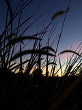 Cattails am Sonnenuntergang Lizenzfreie Stockbilder