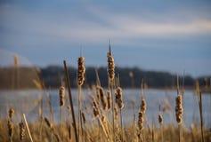 Cattails soufflant en vent au coucher du soleil Photographie stock libre de droits