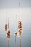 Cattails Before The Storm. Cattails on the blue water with a soft background and muted colors Royalty Free Stock Image